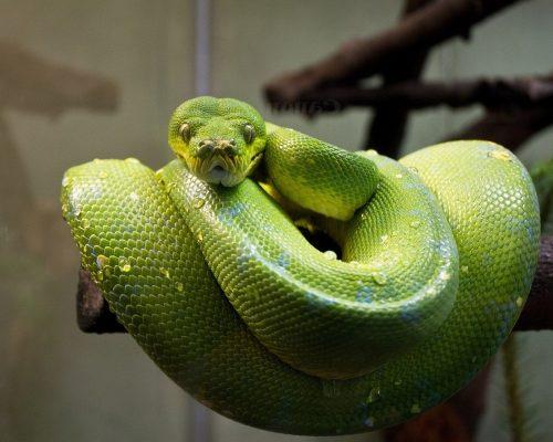 green-tree-python-1416338_1920
